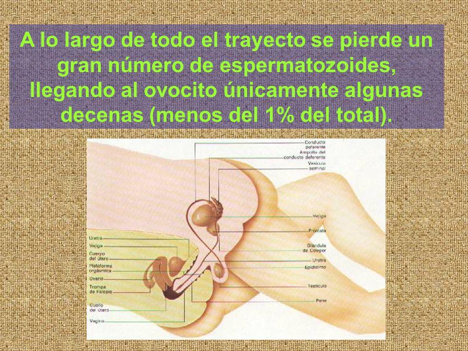 A lo largo de todo el trayecto se pierde un gran número de espermatozoides, llegando al ovocito únicamente algunas decenas (menos del 1% del total).