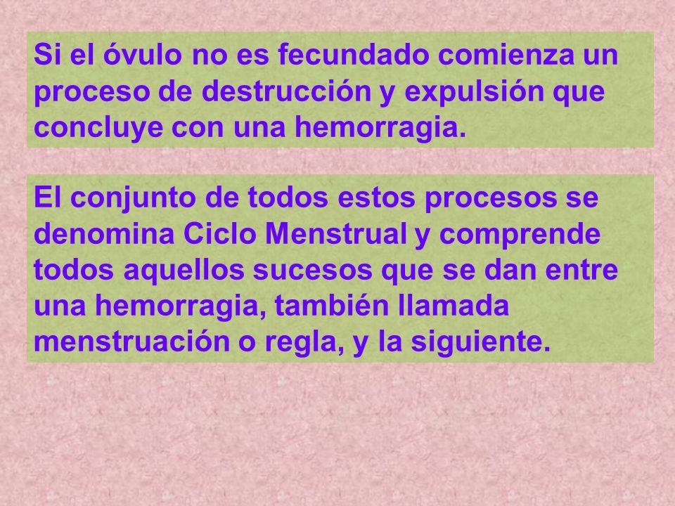 Si el óvulo no es fecundado comienza un proceso de destrucción y expulsión que concluye con una hemorragia. El conjunto de todos estos procesos se den