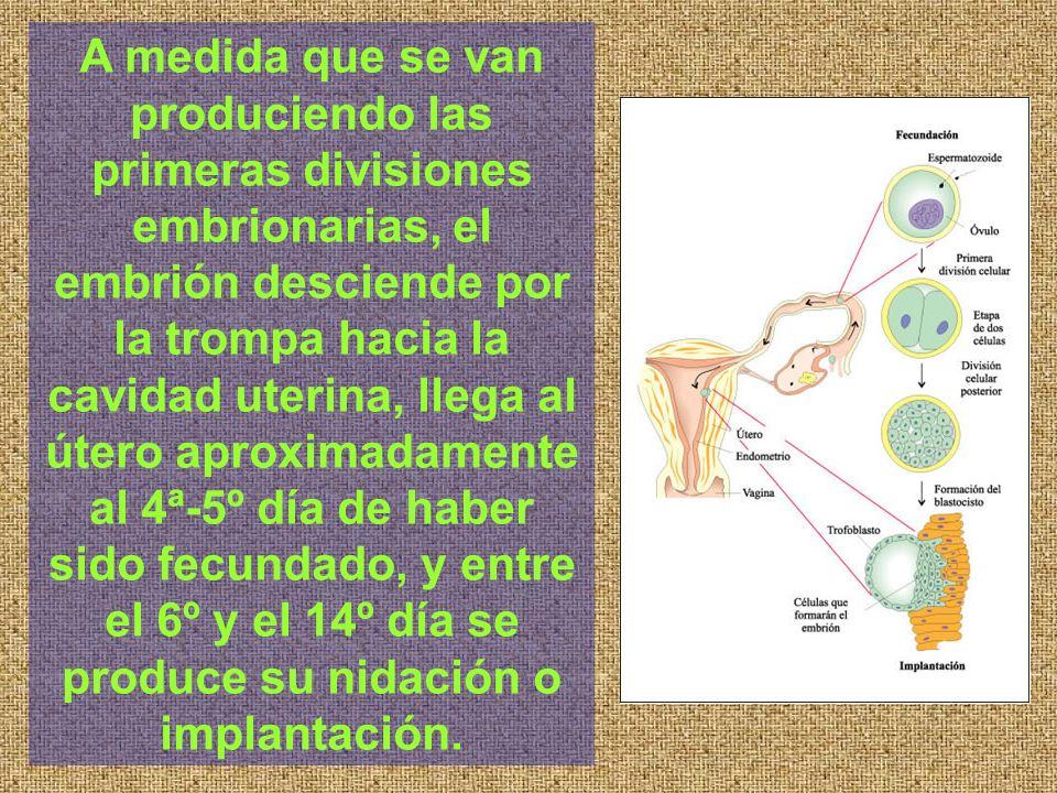 A medida que se van produciendo las primeras divisiones embrionarias, el embrión desciende por la trompa hacia la cavidad uterina, llega al útero apro
