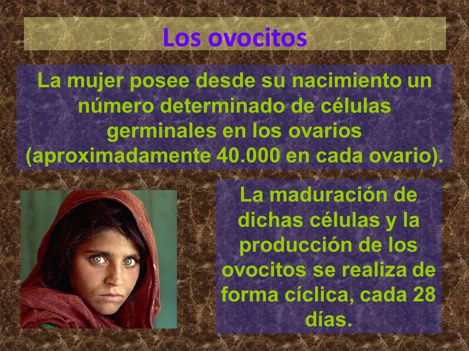 Los ovocitos La mujer posee desde su nacimiento un número determinado de células germinales en los ovarios (aproximadamente 40.000 en cada ovario). La