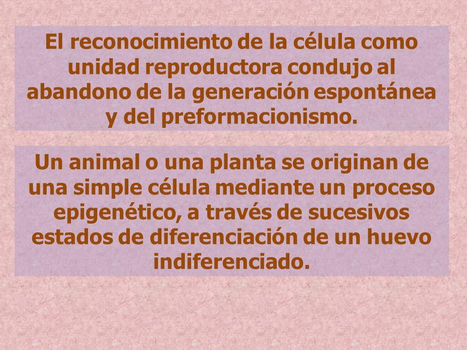 El reconocimiento de la célula como unidad reproductora condujo al abandono de la generación espontánea y del preformacionismo. Un animal o una planta
