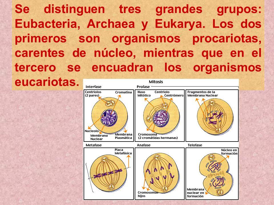 Se distinguen tres grandes grupos: Eubacteria, Archaea y Eukarya. Los dos primeros son organismos procariotas, carentes de núcleo, mientras que en el