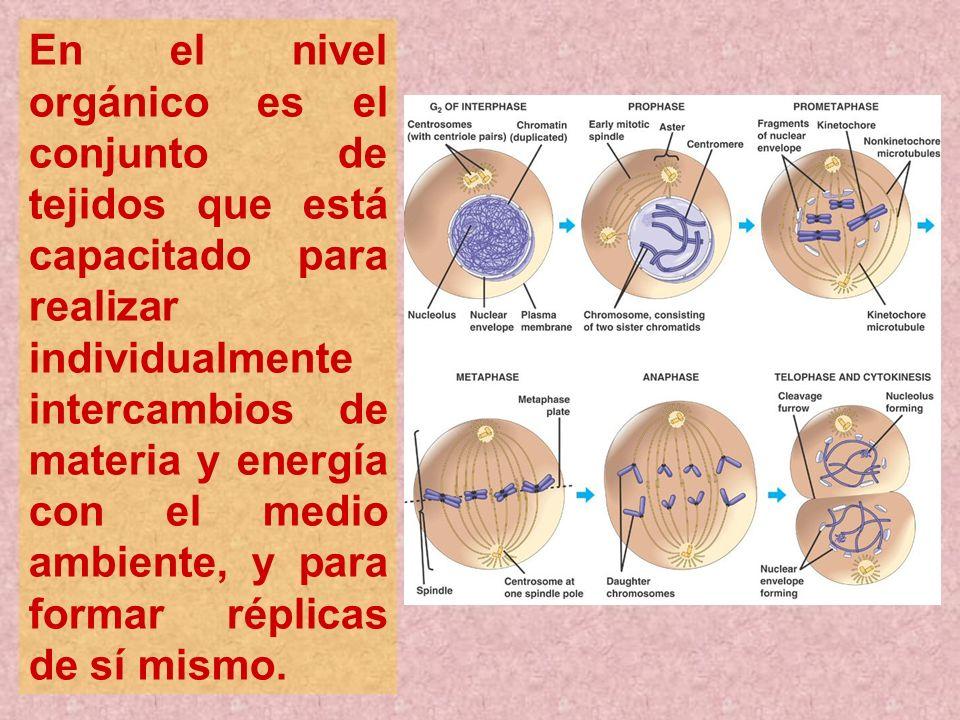 En el nivel orgánico es el conjunto de tejidos que está capacitado para realizar individualmente intercambios de materia y energía con el medio ambien