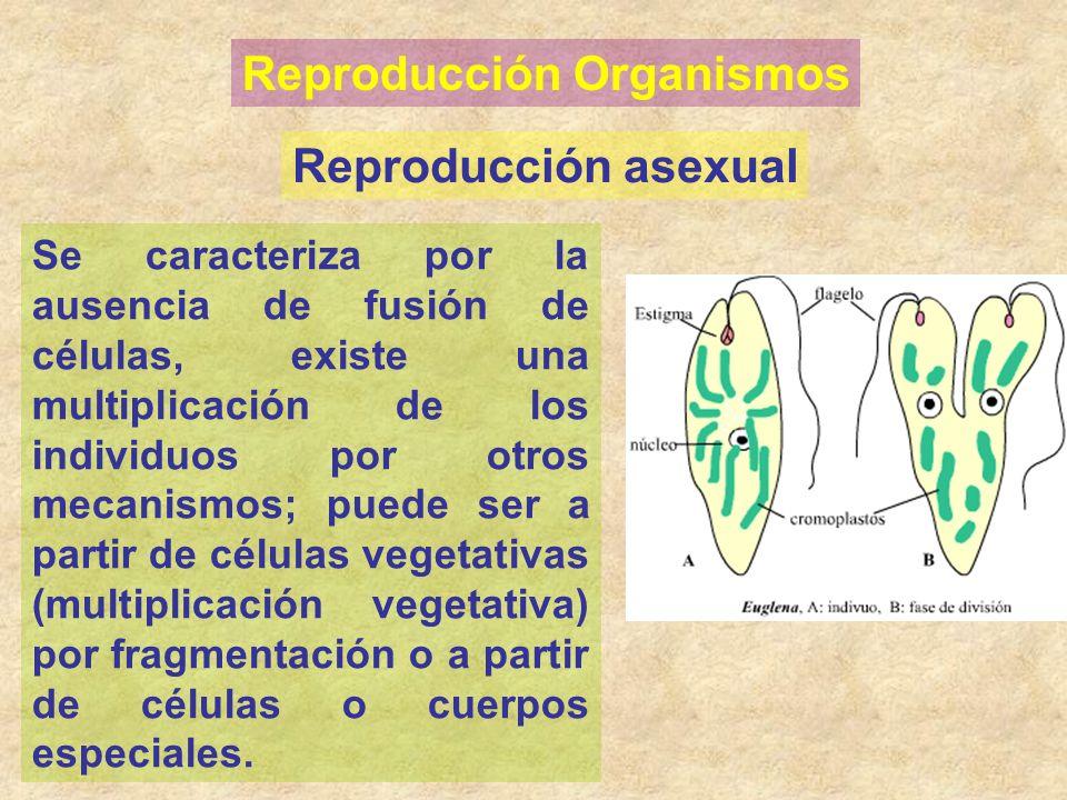 Reproducción Organismos Reproducción asexual Se caracteriza por la ausencia de fusión de células, existe una multiplicación de los individuos por otro