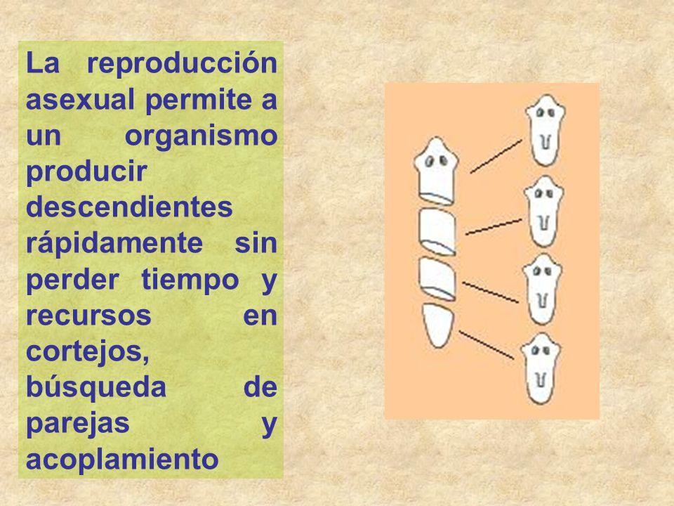 La reproducción asexual permite a un organismo producir descendientes rápidamente sin perder tiempo y recursos en cortejos, búsqueda de parejas y acop