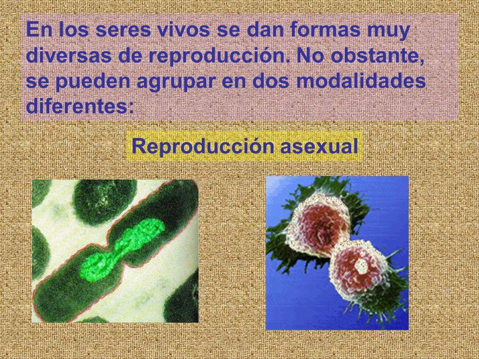 En los seres vivos se dan formas muy diversas de reproducción. No obstante, se pueden agrupar en dos modalidades diferentes: Reproducción asexual