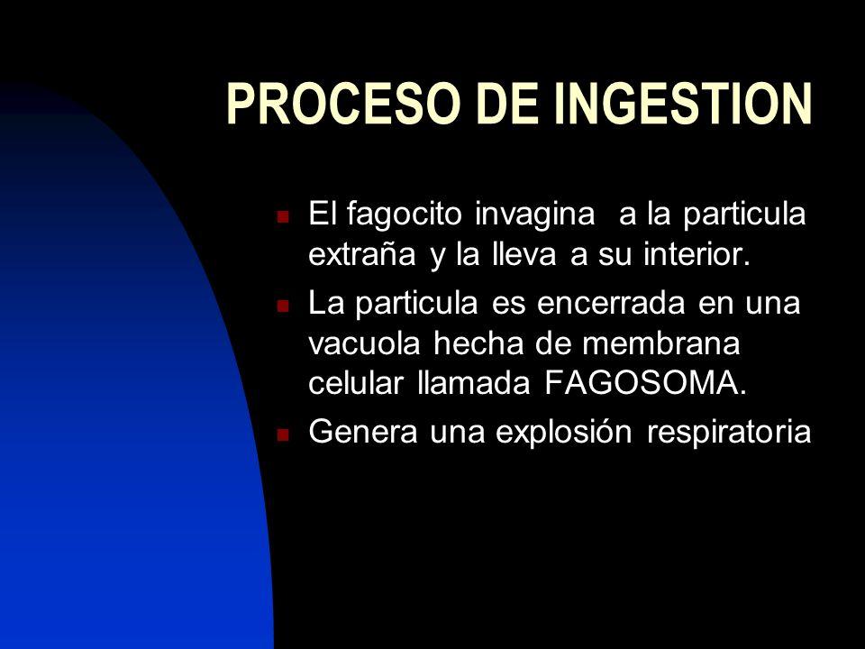 PROCESO DE INGESTION El fagocito invagina a la particula extraña y la lleva a su interior. La particula es encerrada en una vacuola hecha de membrana