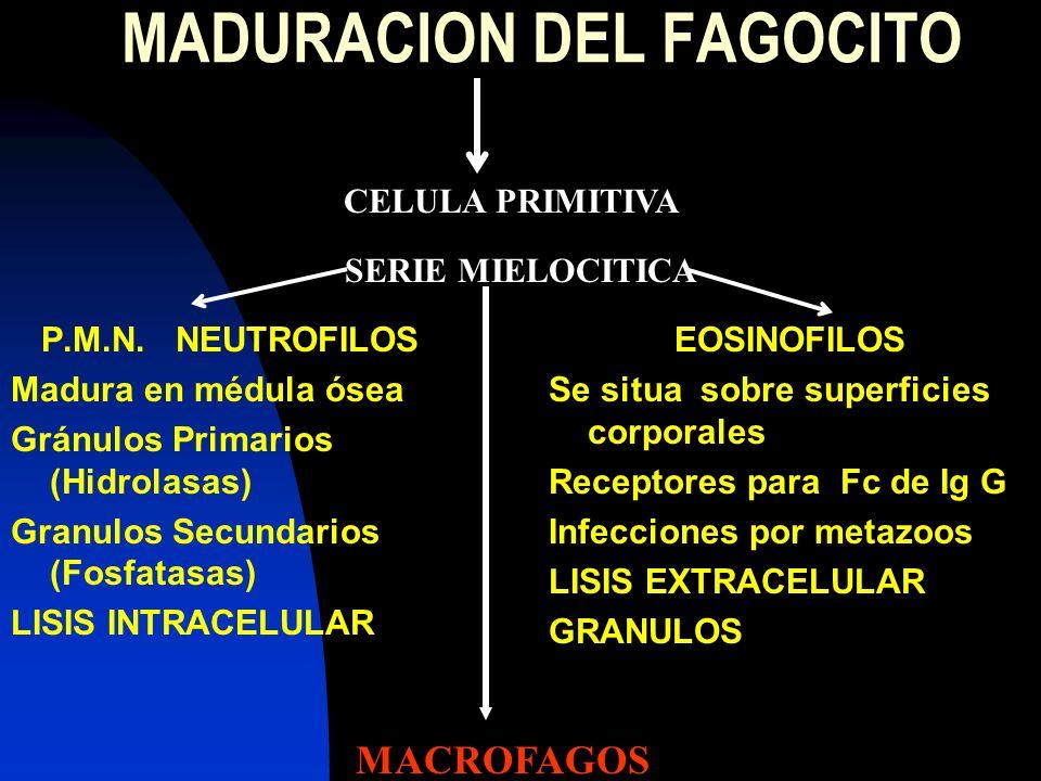 MADURACION DEL FAGOCITO P.M.N. NEUTROFILOS Madura en médula ósea Gránulos Primarios (Hidrolasas) Granulos Secundarios (Fosfatasas) LISIS INTRACELULAR