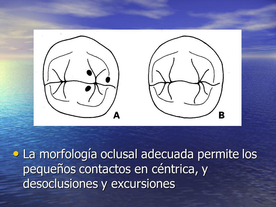 La morfología oclusal adecuada permite los pequeños contactos en céntrica, y desoclusiones y excursiones La morfología oclusal adecuada permite los pe