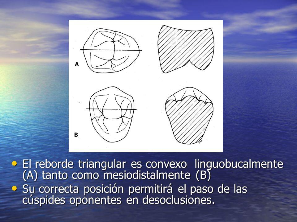El reborde triangular es convexo linguobucalmente (A) tanto como mesiodistalmente (B) El reborde triangular es convexo linguobucalmente (A) tanto como