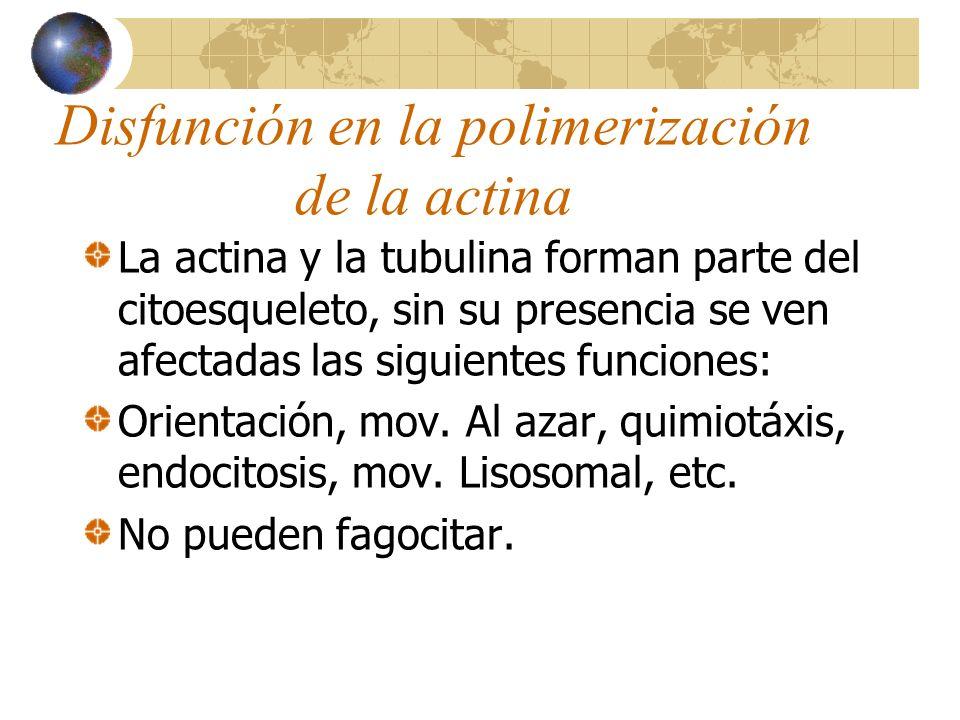 Disfunción en la polimerización de la actina La actina y la tubulina forman parte del citoesqueleto, sin su presencia se ven afectadas las siguientes