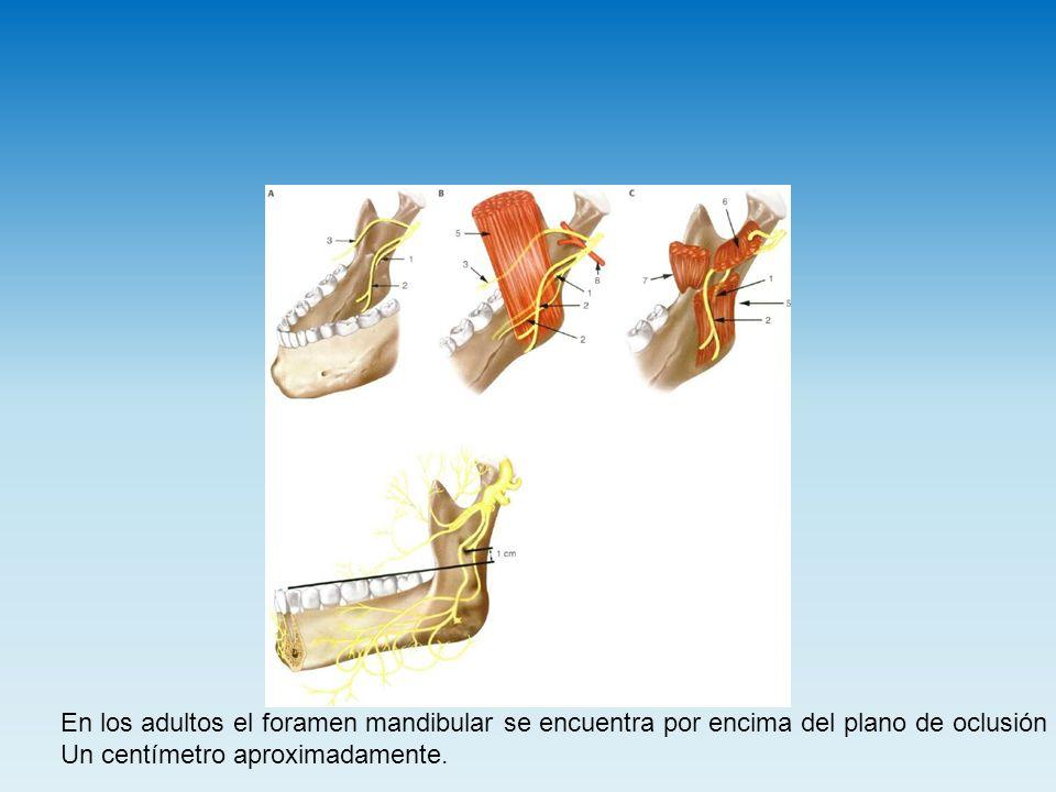 En los adultos el foramen mandibular se encuentra por encima del plano de oclusión Un centímetro aproximadamente.