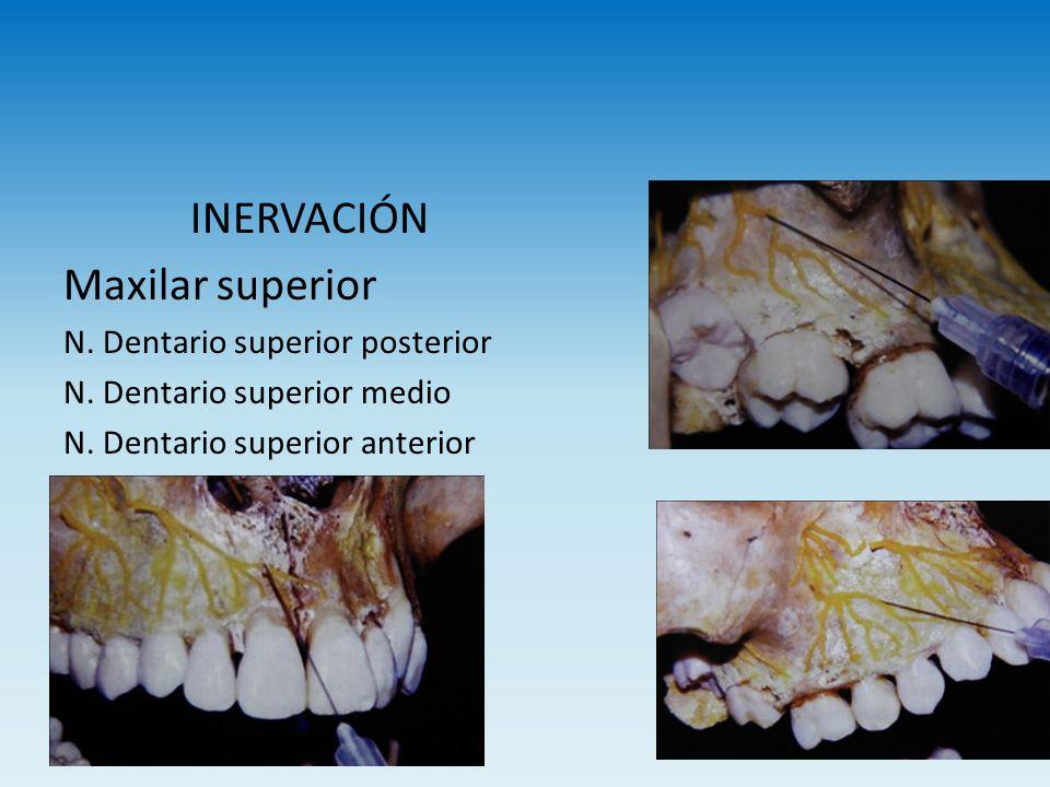 INERVACIÓN Maxilar superior N. Dentario superior posterior N. Dentario superior medio N. Dentario superior anterior