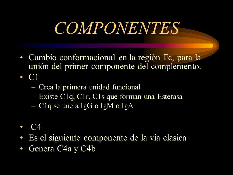 COMPONENTES Cambio conformacional en la región Fc, para la unión del primer componente del complemento. C1 –Crea la primera unidad funcional –Existe C