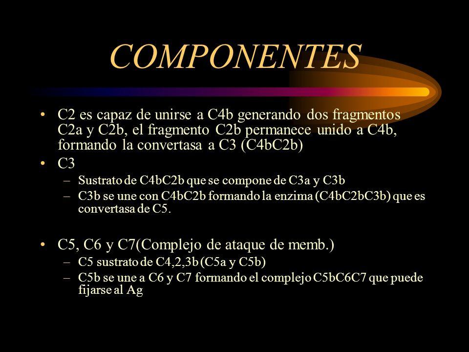 COMPONENTES C2 es capaz de unirse a C4b generando dos fragmentos C2a y C2b, el fragmento C2b permanece unido a C4b, formando la convertasa a C3 (C4bC2