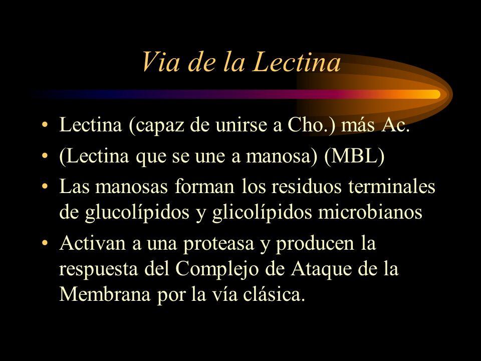 Via de la Lectina Lectina (capaz de unirse a Cho.) más Ac. (Lectina que se une a manosa) (MBL) Las manosas forman los residuos terminales de glucolípi