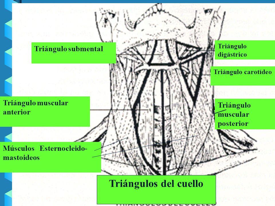 Los cervicales aparecen más en el triángulo posterior, pero cuando aparecen en el triángulo anterior pueden causar disfagia y dificultades respiratori