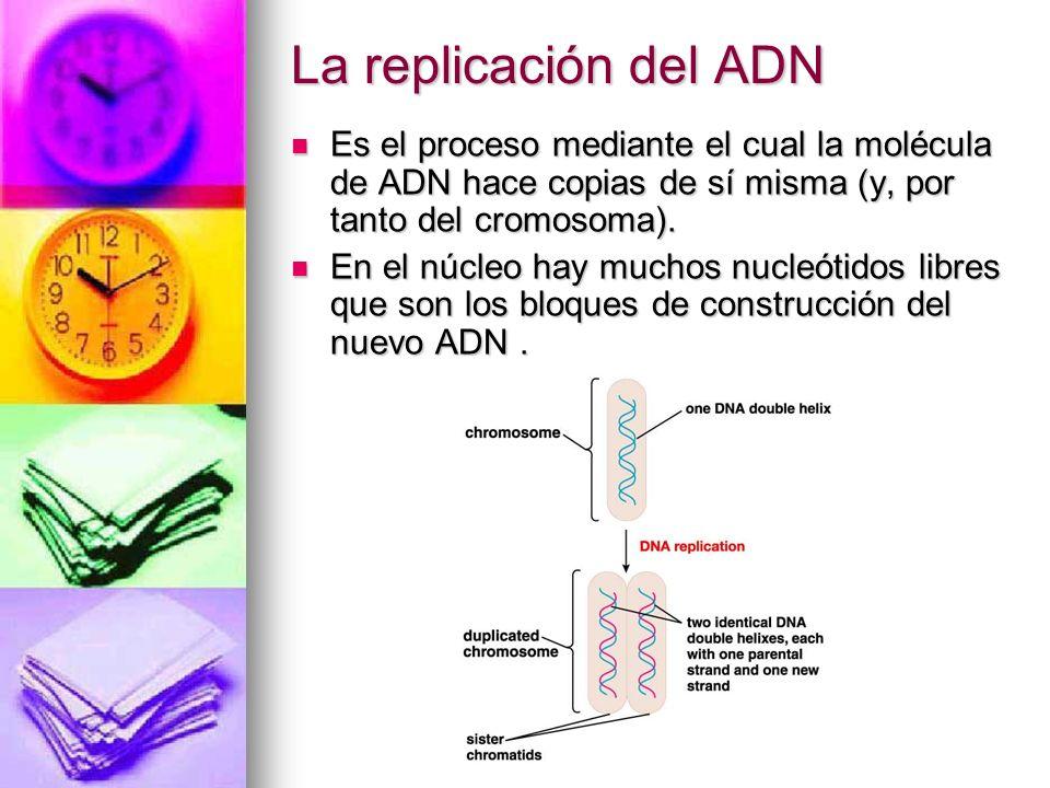 La replicación del ADN Es el proceso mediante el cual la molécula de ADN hace copias de sí misma (y, por tanto del cromosoma).