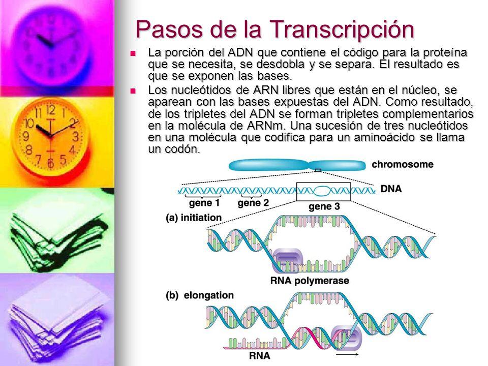 Pasos de la Transcripción La porción del ADN que contiene el código para la proteína que se necesita, se desdobla y se separa.
