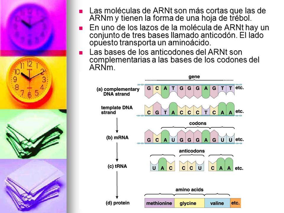 Las moléculas de ARNt son más cortas que las de ARNm y tienen la forma de una hoja de trébol. Las moléculas de ARNt son más cortas que las de ARNm y t