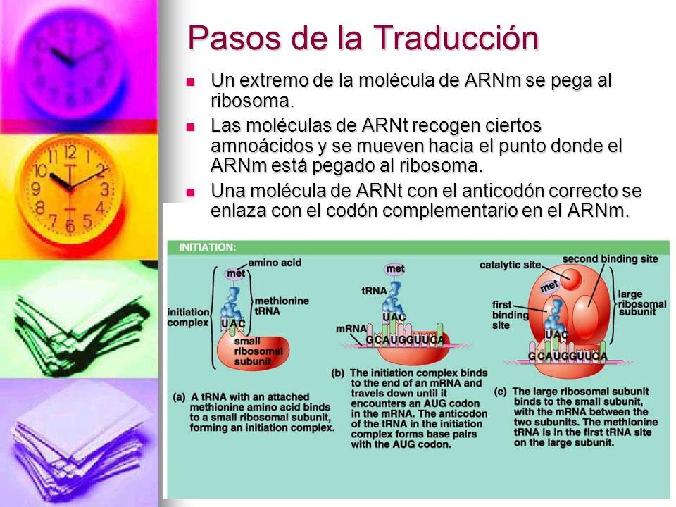 Pasos de la Traducción Un extremo de la molécula de ARNm se pega al ribosoma. Un extremo de la molécula de ARNm se pega al ribosoma. Las moléculas de