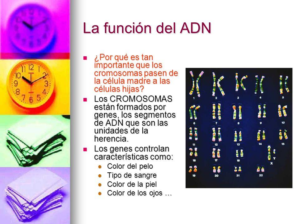 La función del ADN ¿Por qué es tan importante que los cromosomas pasen de la célula madre a las células hijas? ¿Por qué es tan importante que los crom
