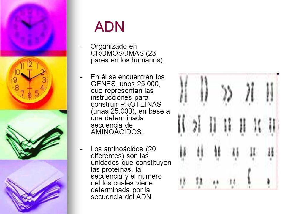 ADN - Organizado en CROMOSOMAS (23 pares en los humanos). - En él se encuentran los GENES, unos 25.000, que representan las instrucciones para constru