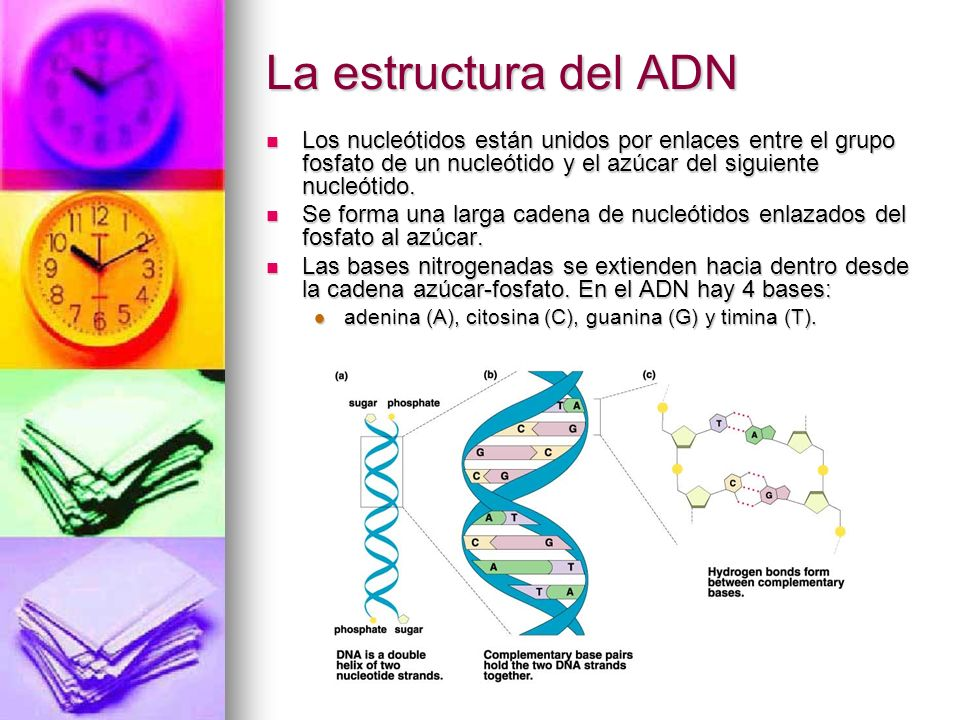 La estructura del ADN Los nucleótidos están unidos por enlaces entre el grupo fosfato de un nucleótido y el azúcar del siguiente nucleótido. Los nucle