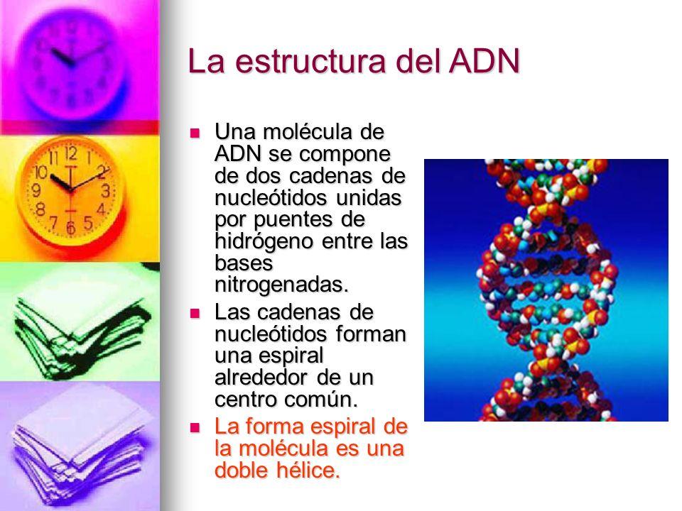 Una molécula de ADN se compone de dos cadenas de nucleótidos unidas por puentes de hidrógeno entre las bases nitrogenadas. Una molécula de ADN se comp
