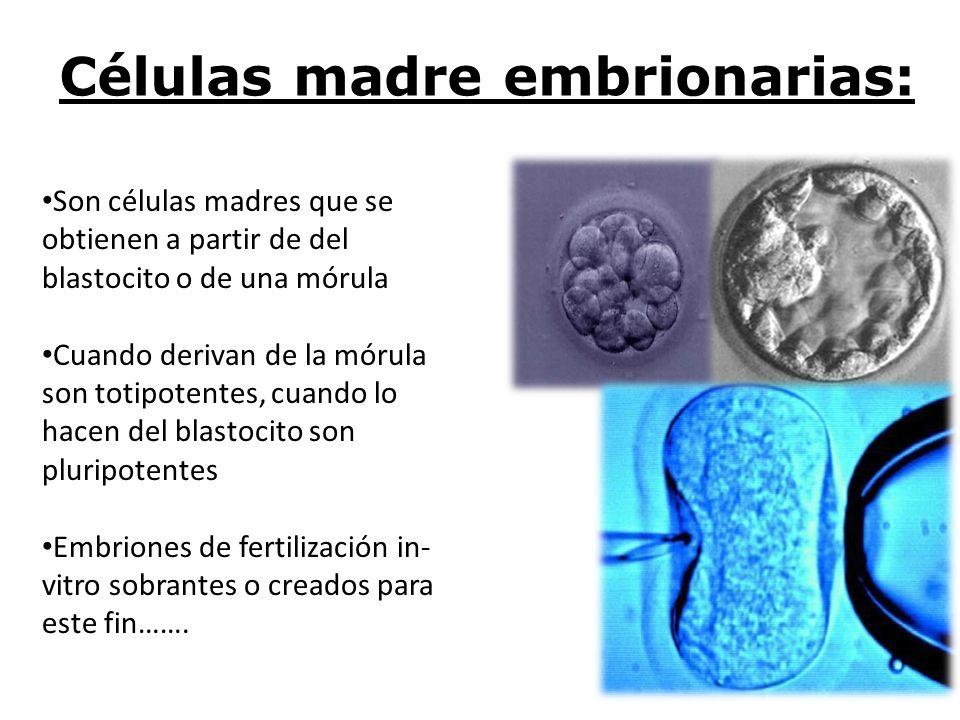 Células madre embrionarias: Son células madres que se obtienen a partir de del blastocito o de una mórula Cuando derivan de la mórula son totipotentes
