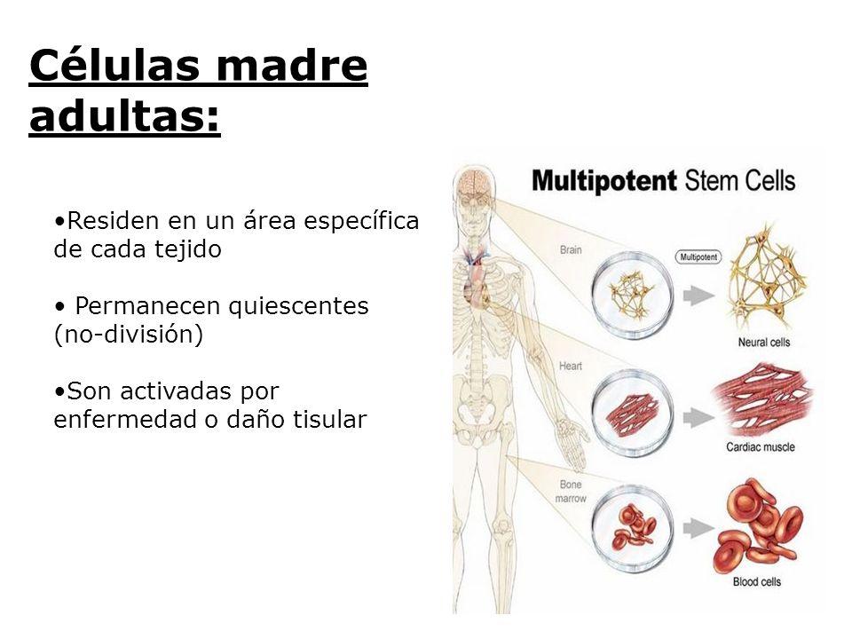 Residen en un área específica de cada tejido Permanecen quiescentes (no-división) Son activadas por enfermedad o daño tisular Células madre adultas: