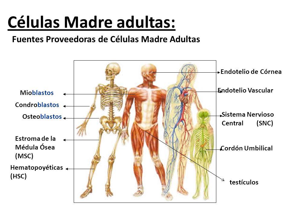 Células Madre adultas: Fuentes Proveedoras de Células Madre Adultas Osteoblastos Estroma de la Médula Ósea (MSC) Hematopoyéticas (HSC) Sistema Nervios