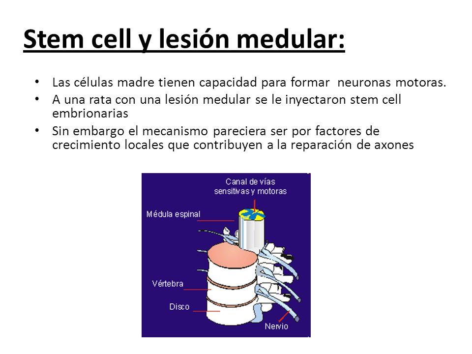 Las células madre tienen capacidad para formar neuronas motoras. A una rata con una lesión medular se le inyectaron stem cell embrionarias Sin embargo