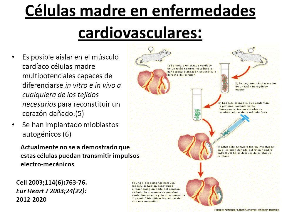 Es posible aislar en el músculo cardíaco células madre multipotenciales capaces de diferenciarse in vitro e in vivo a cualquiera de los tejidos necesa