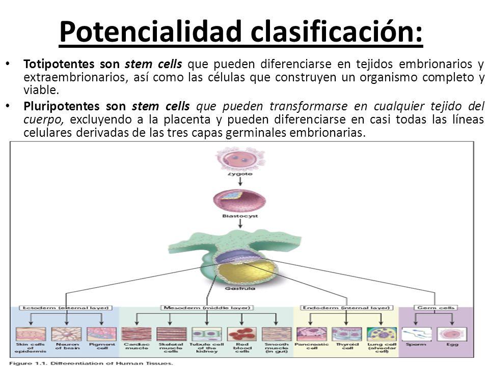 Potencialidad clasificación: Totipotentes son stem cells que pueden diferenciarse en tejidos embrionarios y extraembrionarios, así como las células qu