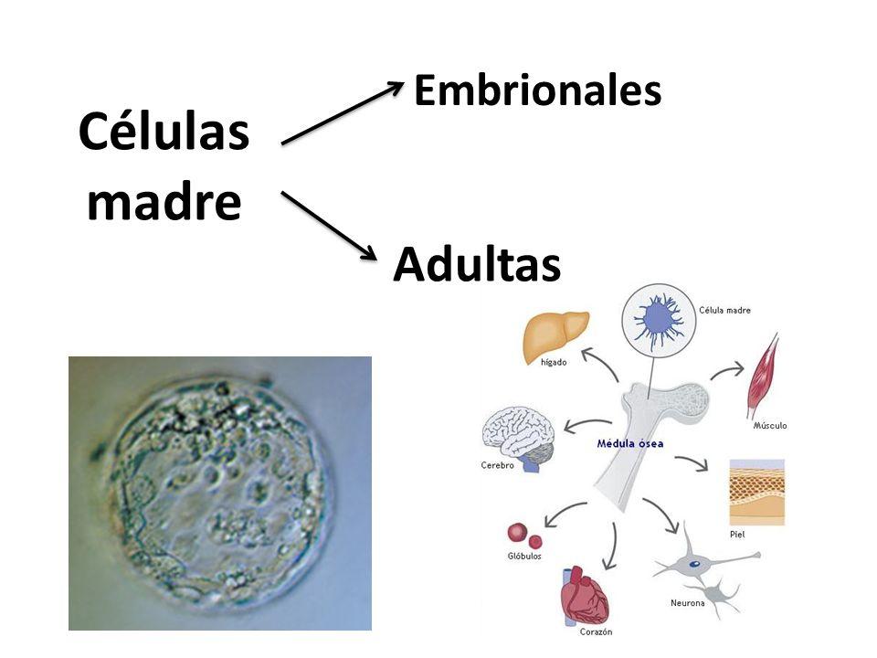 Células madre embrionarias: Son células madres que se obtienen a partir de del blastocito o de una mórula Cuando derivan de la mórula son totipotentes, cuando lo hacen del blastocito son pluripotentes Embriones de fertilización in- vitro sobrantes o creados para este fin…….