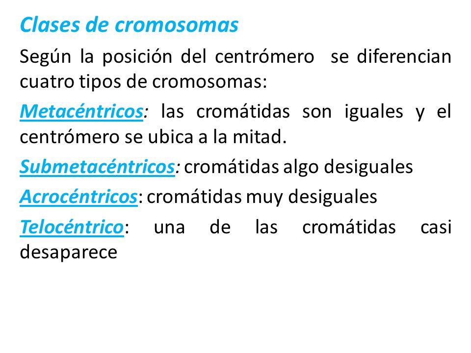 Clases de cromosomas Según la posición del centrómero se diferencian cuatro tipos de cromosomas: Metacéntricos: las cromátidas son iguales y el centró