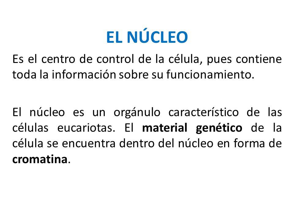 EL NÚCLEO Es el centro de control de la célula, pues contiene toda la información sobre su funcionamiento. El núcleo es un orgánulo característico de