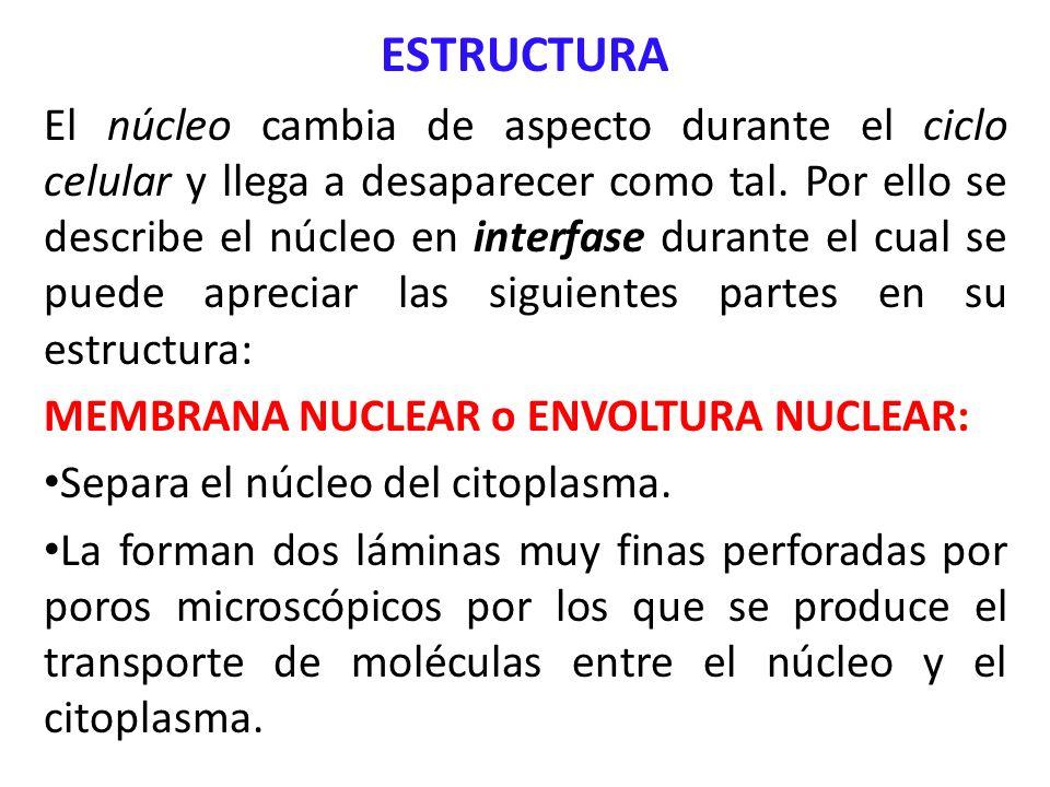 ESTRUCTURA El núcleo cambia de aspecto durante el ciclo celular y llega a desaparecer como tal. Por ello se describe el núcleo en interfase durante el