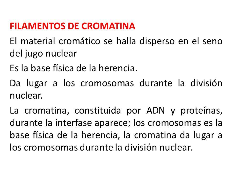 FILAMENTOS DE CROMATINA El material cromático se halla disperso en el seno del jugo nuclear Es la base física de la herencia. Da lugar a los cromosoma