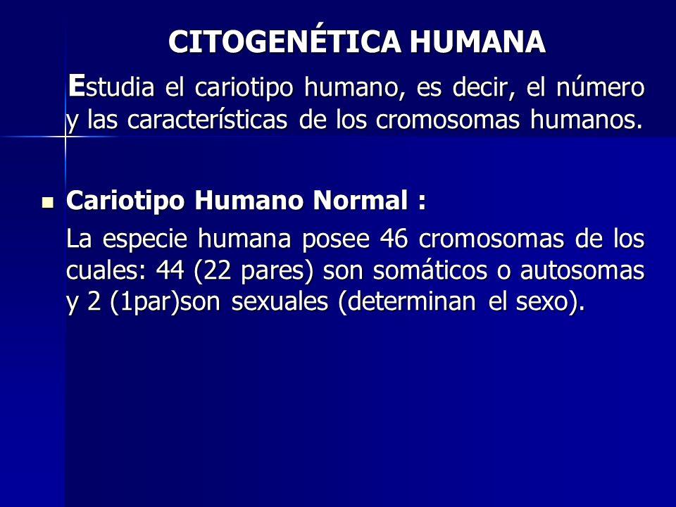 CITOGENÉTICA HUMANA CITOGENÉTICA HUMANA E studia el cariotipo humano, es decir, el número y las características de los cromosomas humanos. E studia el