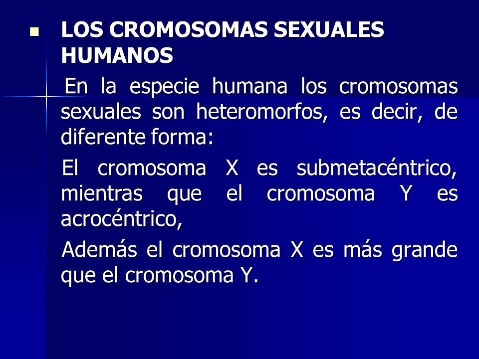 LOS CROMOSOMAS SEXUALES HUMANOS LOS CROMOSOMAS SEXUALES HUMANOS En la especie humana los cromosomas sexuales son heteromorfos, es decir, de diferente