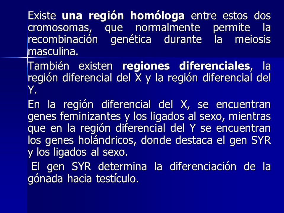 Existe una región homóloga entre estos dos cromosomas, que normalmente permite la recombinación genética durante la meiosis masculina. Existe una regi