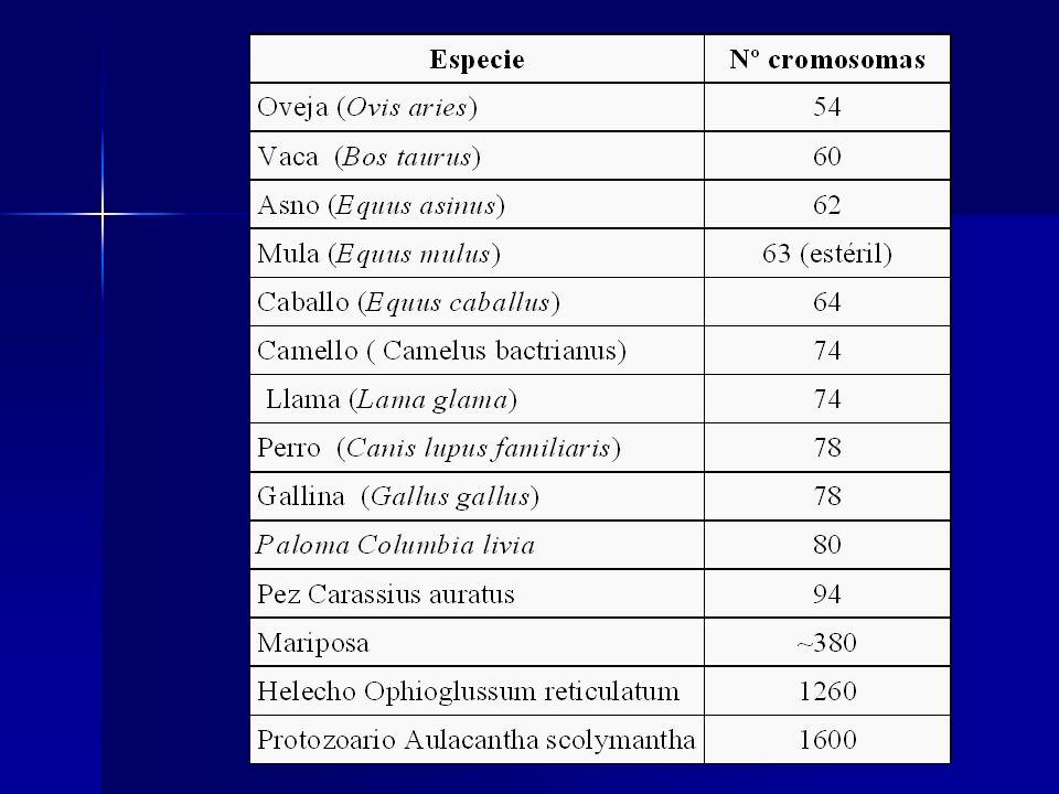 En el varón existen también 23 pares de cromosomas, 22 pares son homólogos y somáticos, y 1 par es heteromorfo (diferentes en estructura), se trata de los cromosomas sexuales: XY.
