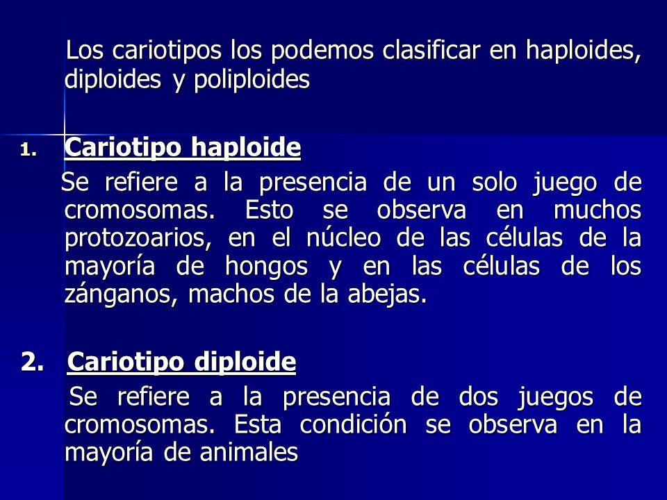 Los cariotipos los podemos clasificar en haploides, diploides y poliploides Los cariotipos los podemos clasificar en haploides, diploides y poliploide