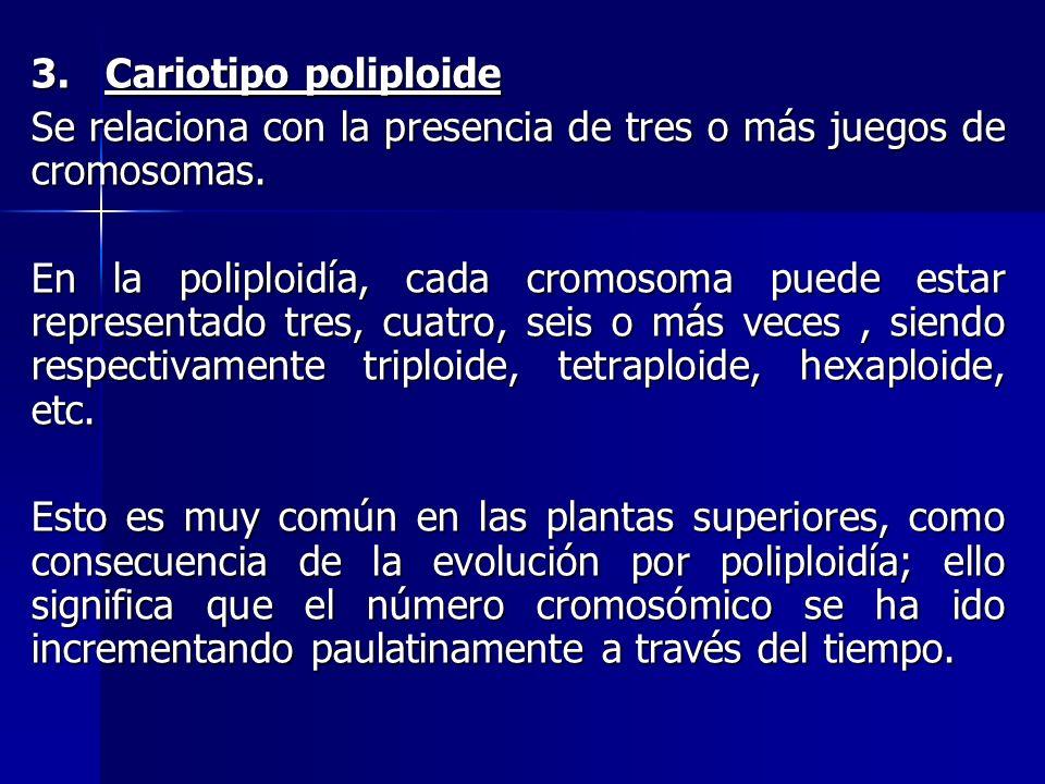 3. Cariotipo poliploide Se relaciona con la presencia de tres o más juegos de cromosomas. En la poliploidía, cada cromosoma puede estar representado t