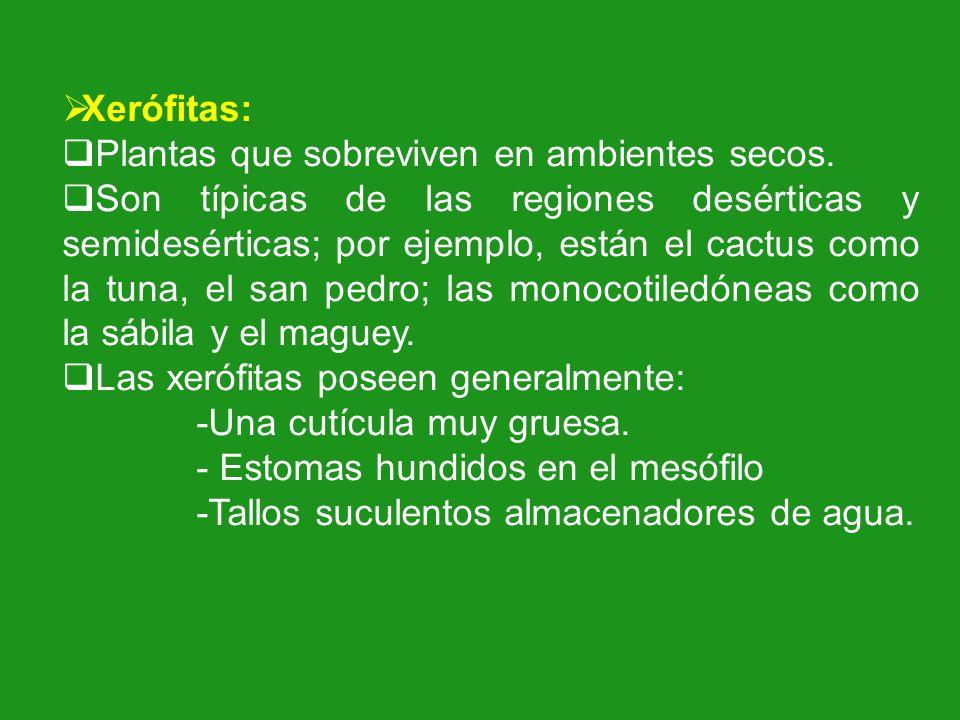 Xerófitas: Plantas que sobreviven en ambientes secos. Son típicas de las regiones desérticas y semidesérticas; por ejemplo, están el cactus como la tu