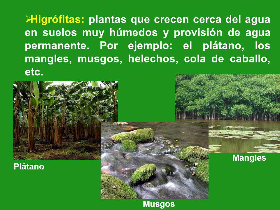 Higrófitas: plantas que crecen cerca del agua en suelos muy húmedos y provisión de agua permanente. Por ejemplo: el plátano, los mangles, musgos, hele