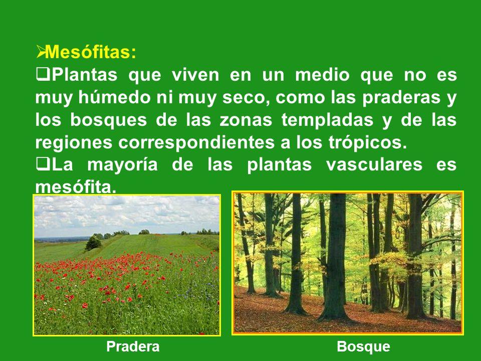 Mesófitas: Plantas que viven en un medio que no es muy húmedo ni muy seco, como las praderas y los bosques de las zonas templadas y de las regiones co