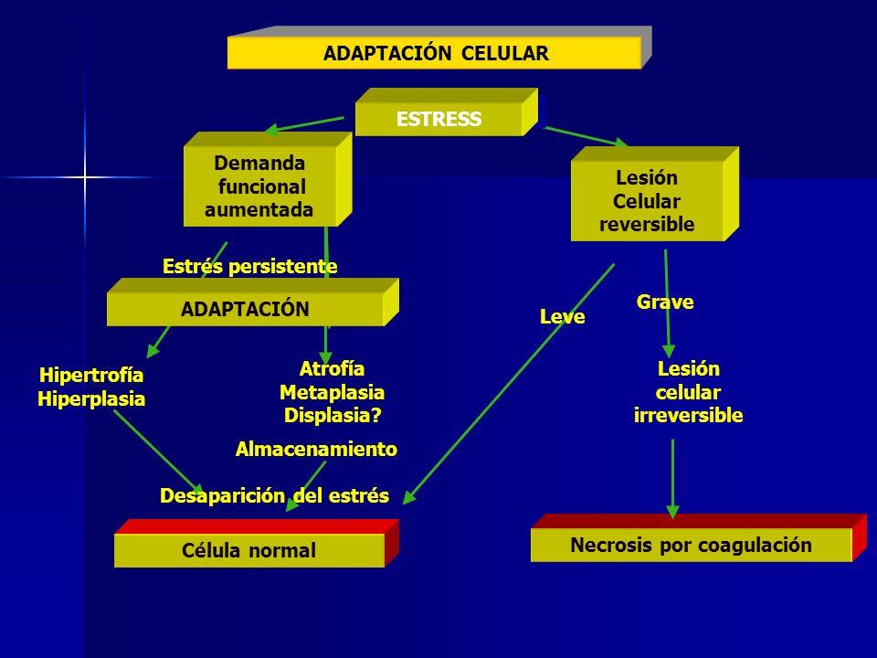 ESTRESS Demanda funcional aumentada Demanda funcional aumentada Lesión Celular reversible Lesión Celular reversible ADAPTACIÓN Estrés persistente Leve